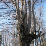 Дерево з декількома стовбурами