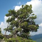 Химерне дерево