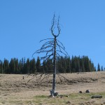Ще одне цікаве дерево