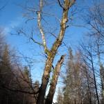 Цікаве дерево