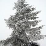 Зимова ялина