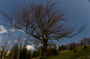 Розлоге дерево