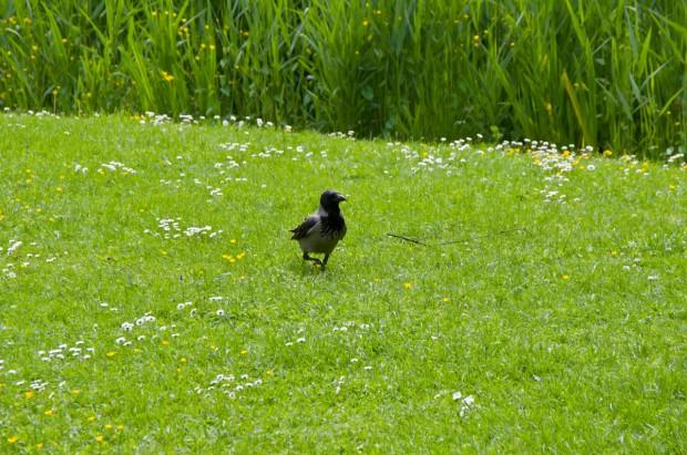 Ворона спостерігала збоку